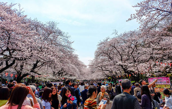 A techie's guide to catching cherry blossoms in Japan